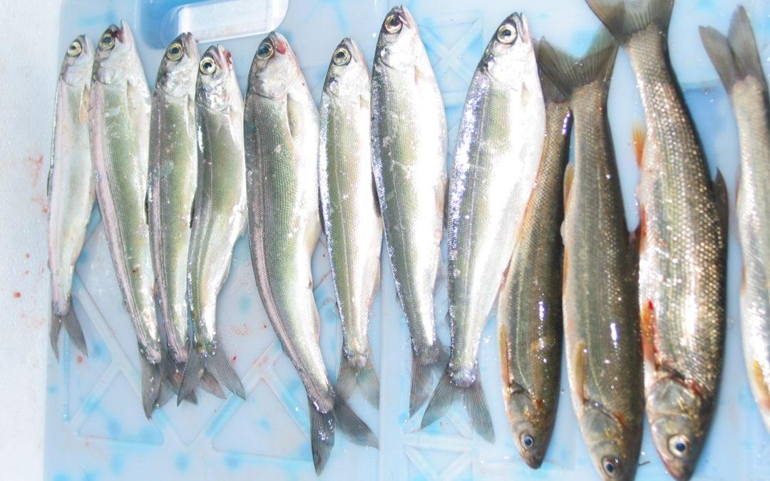 フィッシング|青木湖ヒメマス釣り